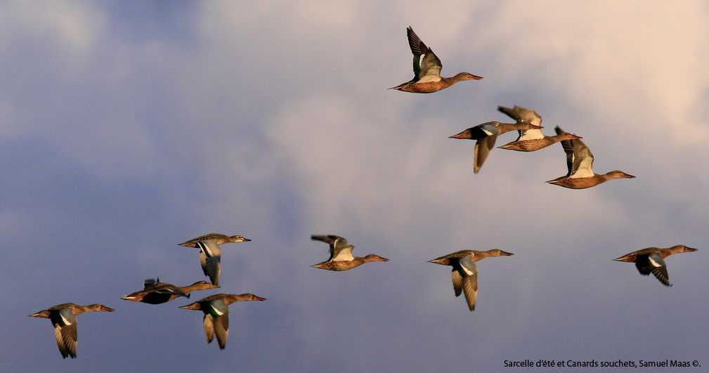https://cdnfiles2.biolovision.net/franche-comte.lpo.fr/userfiles/observer/Wetlands/Canardsenvol.jpg