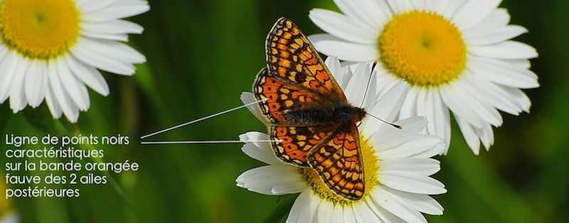 https://cdnfiles2.biolovision.net/www.faune-alsace.org/userfiles/Insectes/DamierSuccise/ASC7449.JPG