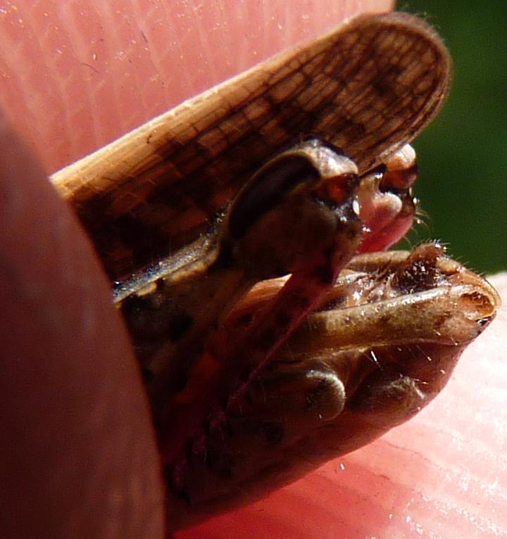 https://cdnfiles2.biolovision.net/www.faune-alsace.org/userfiles/Insectes/ORTHOPTERA/Calliptamus/P1080371PallliumCalitalicusM.jpg