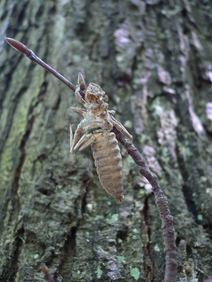 https://cdnfiles2.biolovision.net/www.faune-alsace.org/userfiles/Insectes/Ocecilia/Cecilia1.jpg