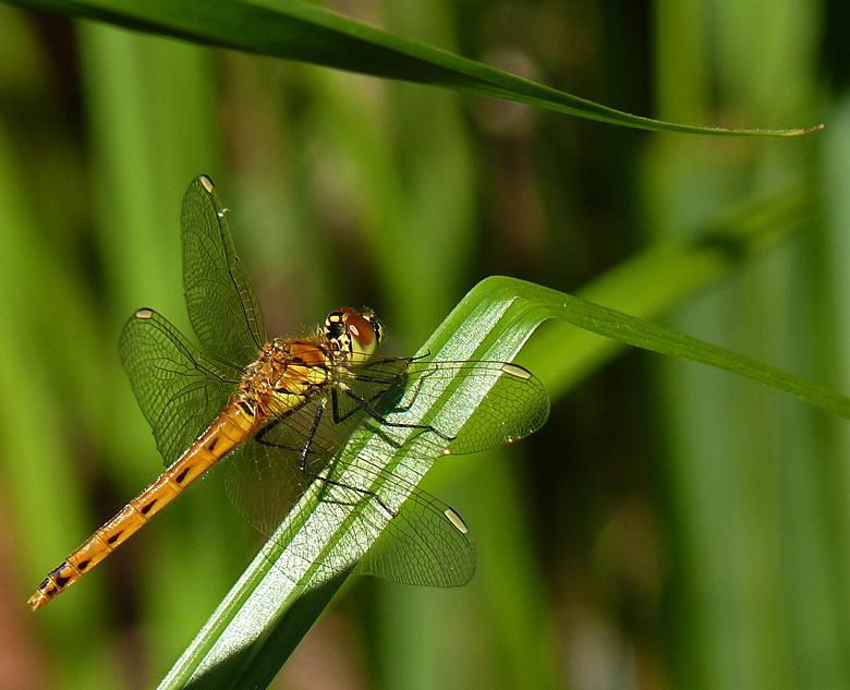 https://cdnfiles2.biolovision.net/www.faune-alsace.org/userfiles/Insectes/Sdepressiusculum/P1050533Sdepress.jpg