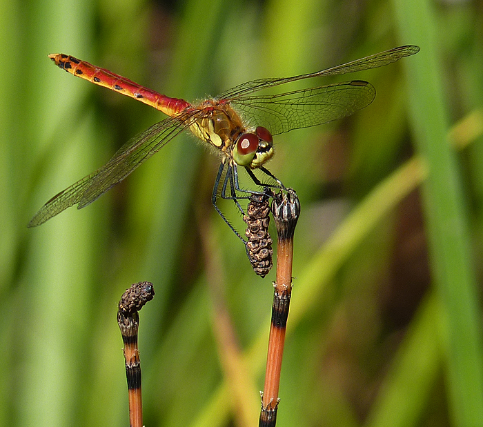 https://cdnfiles2.biolovision.net/www.faune-alsace.org/userfiles/Insectes/Sdepressiusculum/P1050538Sdepress.jpg