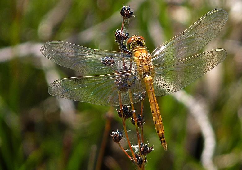 https://cdnfiles2.biolovision.net/www.faune-alsace.org/userfiles/Insectes/Sdepressiusculum/P1050557Sdepress.jpg