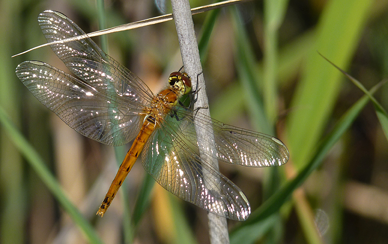 https://cdnfiles2.biolovision.net/www.faune-alsace.org/userfiles/Insectes/Sdepressiusculum/P1050563Sdepress.jpg