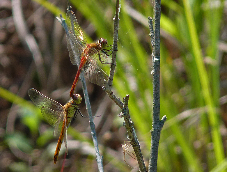 https://cdnfiles2.biolovision.net/www.faune-alsace.org/userfiles/Insectes/Sdepressiusculum/P1050567Sdepress.jpg