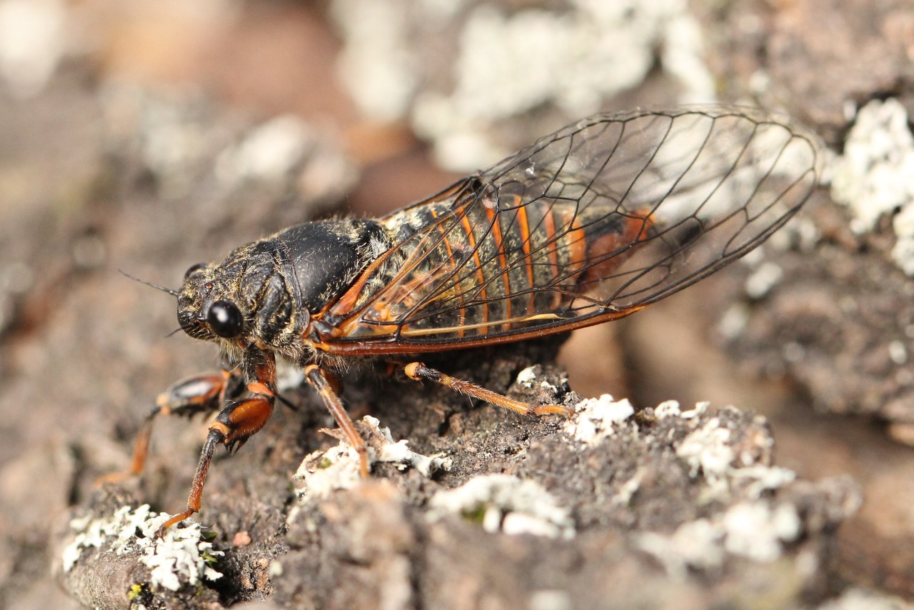 https://cdnfiles2.biolovision.net/www.faune-alsace.org/userfiles/Insectes/cigales/Homoptera-Tibicinidae-Cicadettasp-24Juin2014-MEhrhardt.jpg