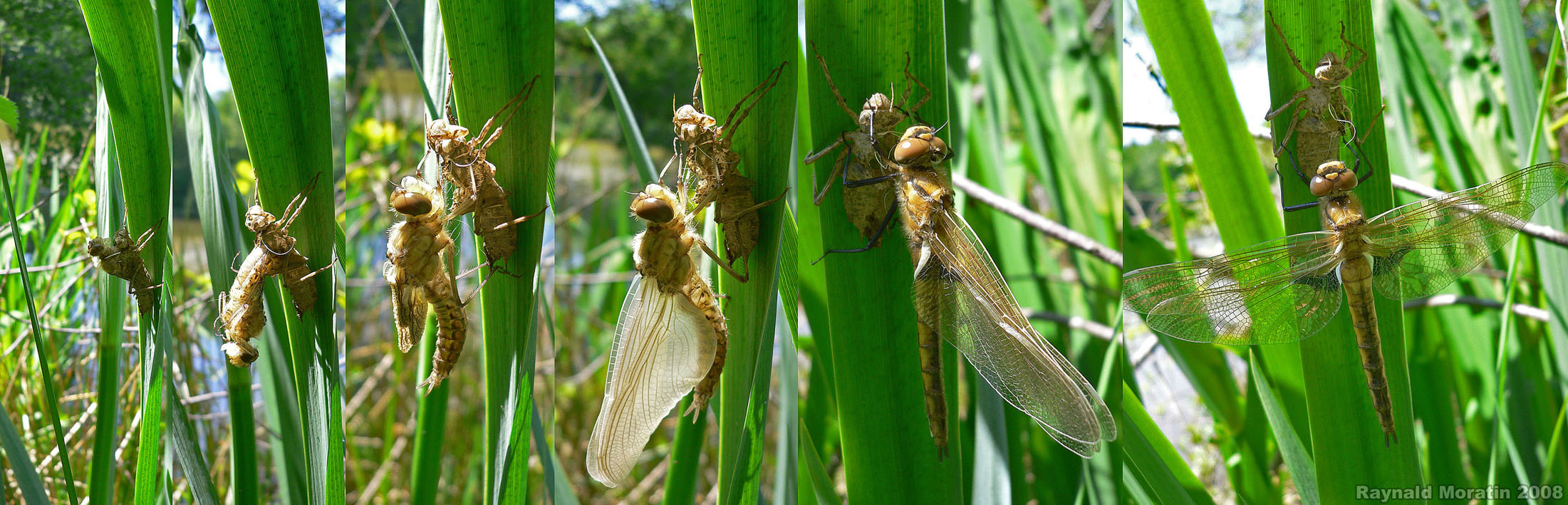 https://cdnfiles2.biolovision.net/www.faune-alsace.org/userfiles/Insectes/epitheca/EpiBimaRMoratincond.jpg