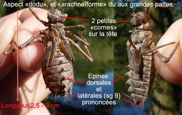 https://cdnfiles2.biolovision.net/www.faune-alsace.org/userfiles/Insectes/epitheca/epitheca-description.jpg