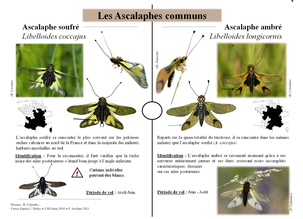 https://cdnfiles2.biolovision.net/www.faune-alsace.org/userfiles/Insectes/plaquetteversion4-page3.jpg