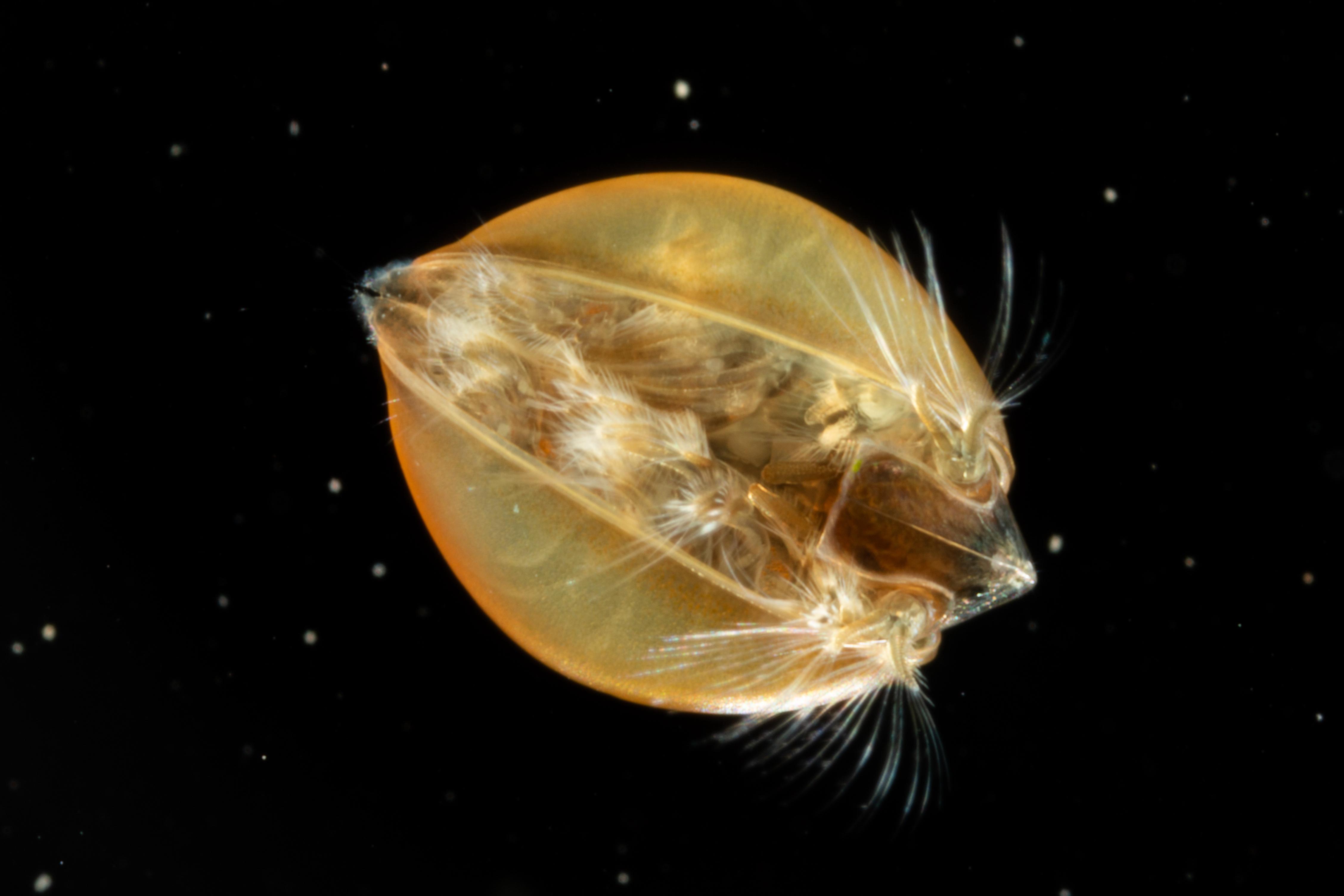 https://cdnfiles2.biolovision.net/www.faune-alsace.org/userfiles/branchioJFC/LynceusTHIERY/MG9418.JPG