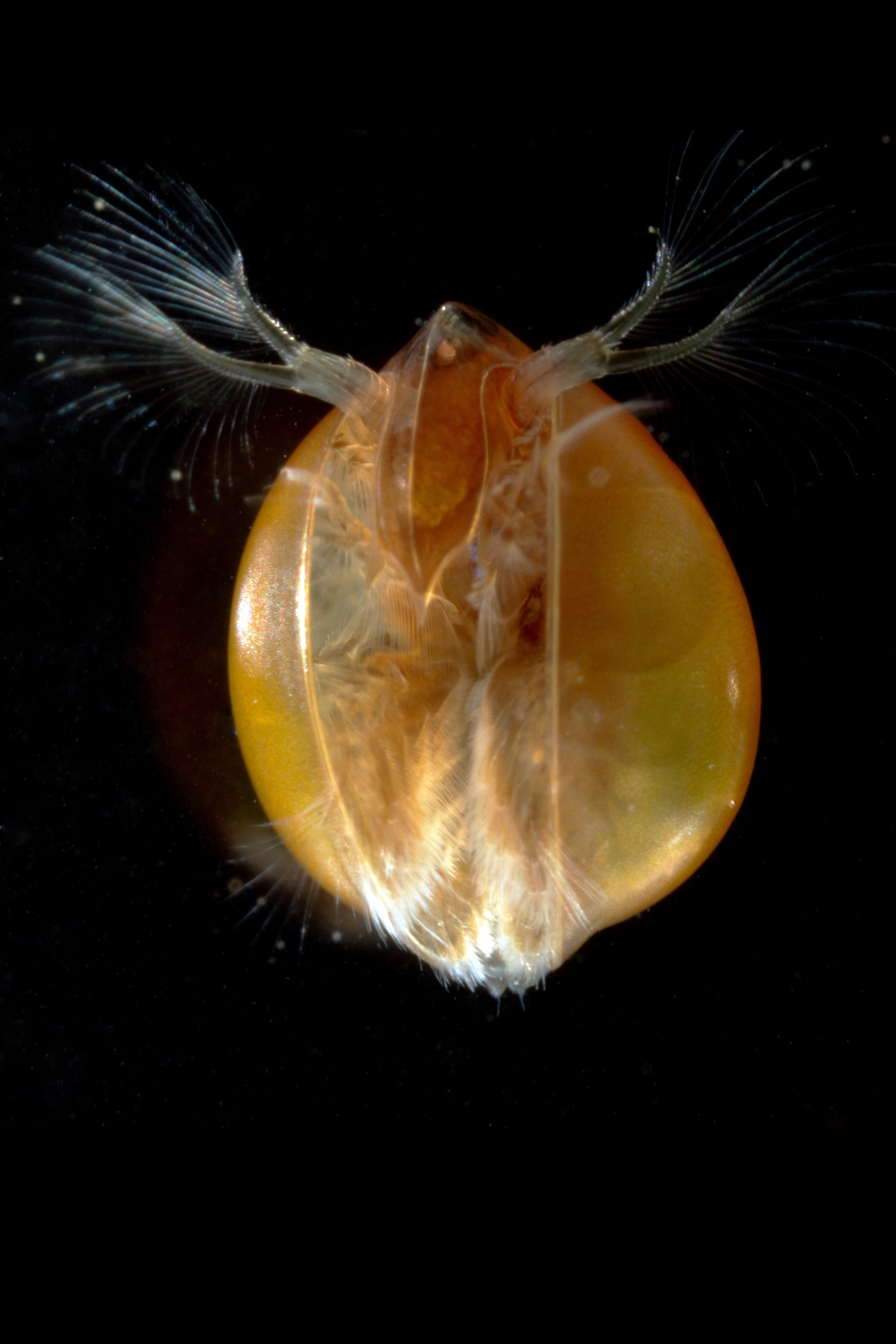https://cdnfiles2.biolovision.net/www.faune-alsace.org/userfiles/branchioJFC/LynceusTHIERY/MG9524.JPG