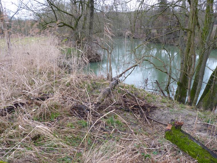 https://cdnfiles2.biolovision.net/www.faune-alsace.org/userfiles/gepma/castor/Berge-haute-avec--terrier-et-recharge-de-branchages-event-Ill-a-Zillisheim-68-fev-2014.jpg