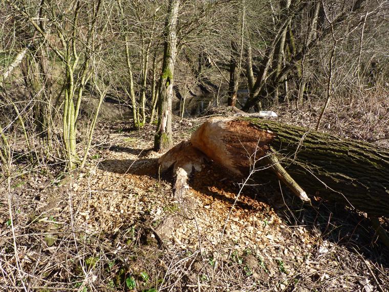 https://cdnfiles2.biolovision.net/www.faune-alsace.org/userfiles/gepma/castor/Coupe-sur-saule-arborescent-Soultzbach--a-Falkwiller-68-mars-2014.jpg