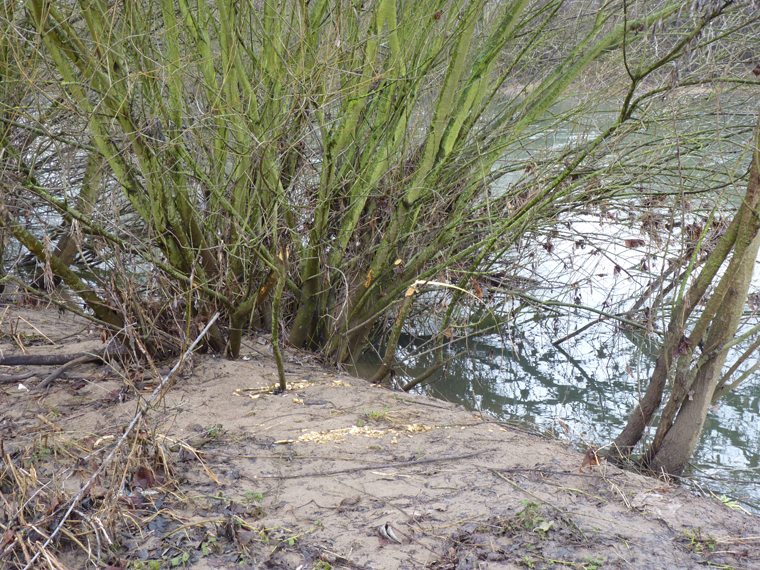 https://cdnfiles2.biolovision.net/www.faune-alsace.org/userfiles/gepma/castor/Coupes-sur-saules-arbustifs-Ill-a-Reguisheim-68-mars-2014.jpg