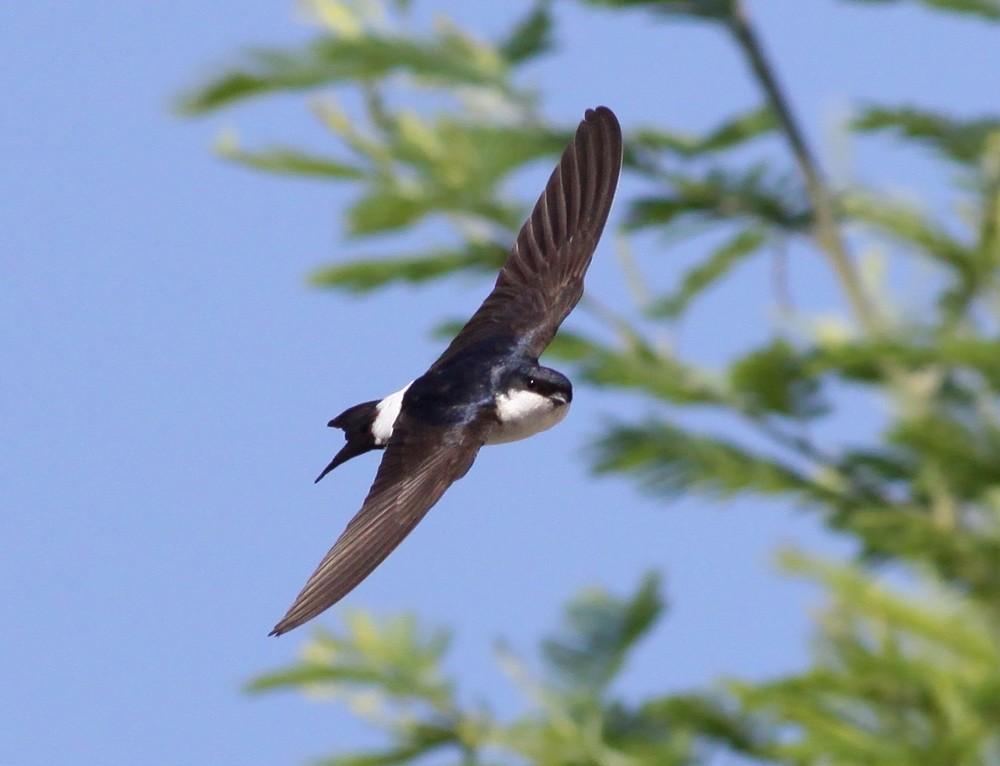 https://cdnfiles2.biolovision.net/www.faune-champagne-ardenne.org/userfiles/OiseauDeLAnnee/HirondelledefentreRenDumoulin.jpg