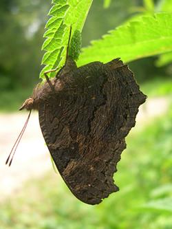 https://cdnfiles2.biolovision.net/www.faune-champagne-ardenne.org/userfiles/papillons/Paon-de-jour-pondant-pt.jpg