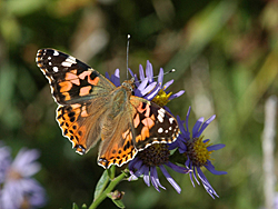 https://cdnfiles2.biolovision.net/www.faune-champagne-ardenne.org/userfiles/papillons/belledame2pt.jpg