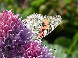 https://cdnfiles2.biolovision.net/www.faune-champagne-ardenne.org/userfiles/papillons/belledamept.jpg