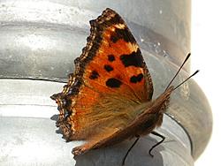 https://cdnfiles2.biolovision.net/www.faune-champagne-ardenne.org/userfiles/papillons/gdetortpt.jpg