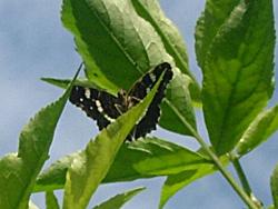 https://cdnfiles2.biolovision.net/www.faune-champagne-ardenne.org/userfiles/papillons/prorsapt.jpg