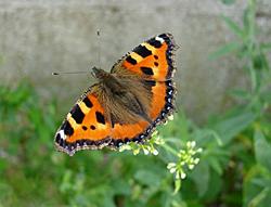 https://cdnfiles2.biolovision.net/www.faune-champagne-ardenne.org/userfiles/papillons/ptetortuept.jpg