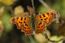 https://cdnfiles2.biolovision.net/www.faune-champagne-ardenne.org/userfiles/papillons/rld2pt.jpg