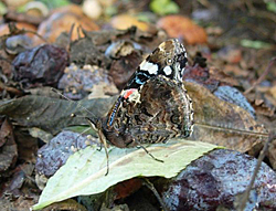 https://cdnfiles2.biolovision.net/www.faune-champagne-ardenne.org/userfiles/papillons/vulcainpt.jpg