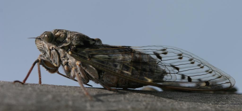https://cdnfiles2.biolovision.net/www.faune-charente-maritime.org/userfiles/Cigales/CicadaorniTrembladedune20110715PJ00217rogne.jpg