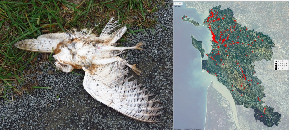 https://cdnfiles2.biolovision.net/www.faune-charente-maritime.org/userfiles/Fauneetroute/Effraiecartocollision.jpg