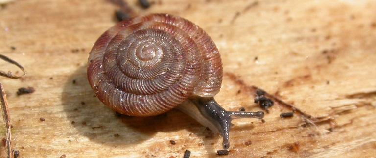 https://cdnfiles2.biolovision.net/www.faune-charente-maritime.org/userfiles/Mollusques/Discusrotundatus014.jpg