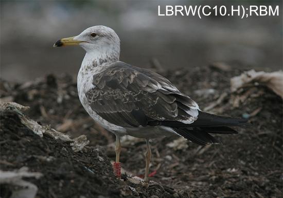 https://cdnfiles2.biolovision.net/www.faune-charente-maritime.org/userfiles/Oiso/Larfus.jpg