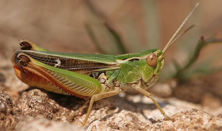 https://cdnfiles2.biolovision.net/www.faune-charente-maritime.org/userfiles/Ortho/Stnopalne20110710001cut.jpg