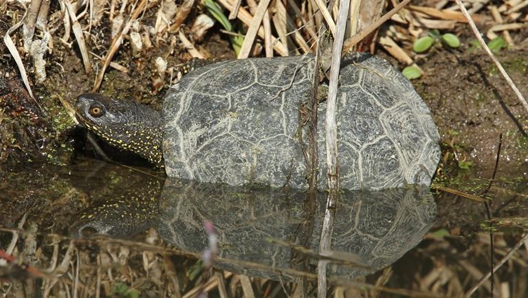https://cdnfiles2.biolovision.net/www.faune-charente-maritime.org/userfiles/Reptiles/Emyorb.jpg