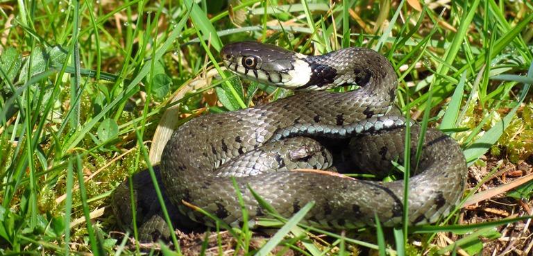 https://cdnfiles2.biolovision.net/www.faune-charente-maritime.org/userfiles/Reptiles/NatnatOK.jpg