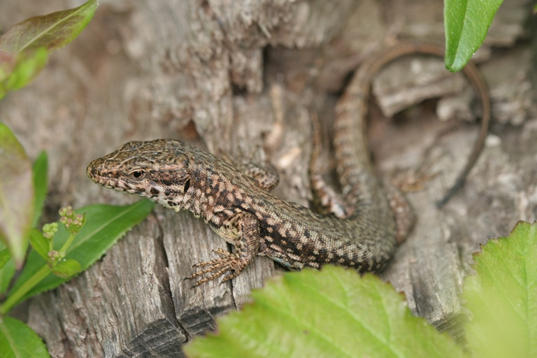 https://cdnfiles2.biolovision.net/www.faune-charente-maritime.org/userfiles/Reptiles/PodmurOK.jpg