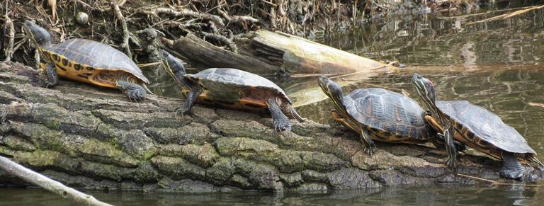 https://cdnfiles2.biolovision.net/www.faune-charente-maritime.org/userfiles/Reptiles/TacscrRoyanOK.jpg
