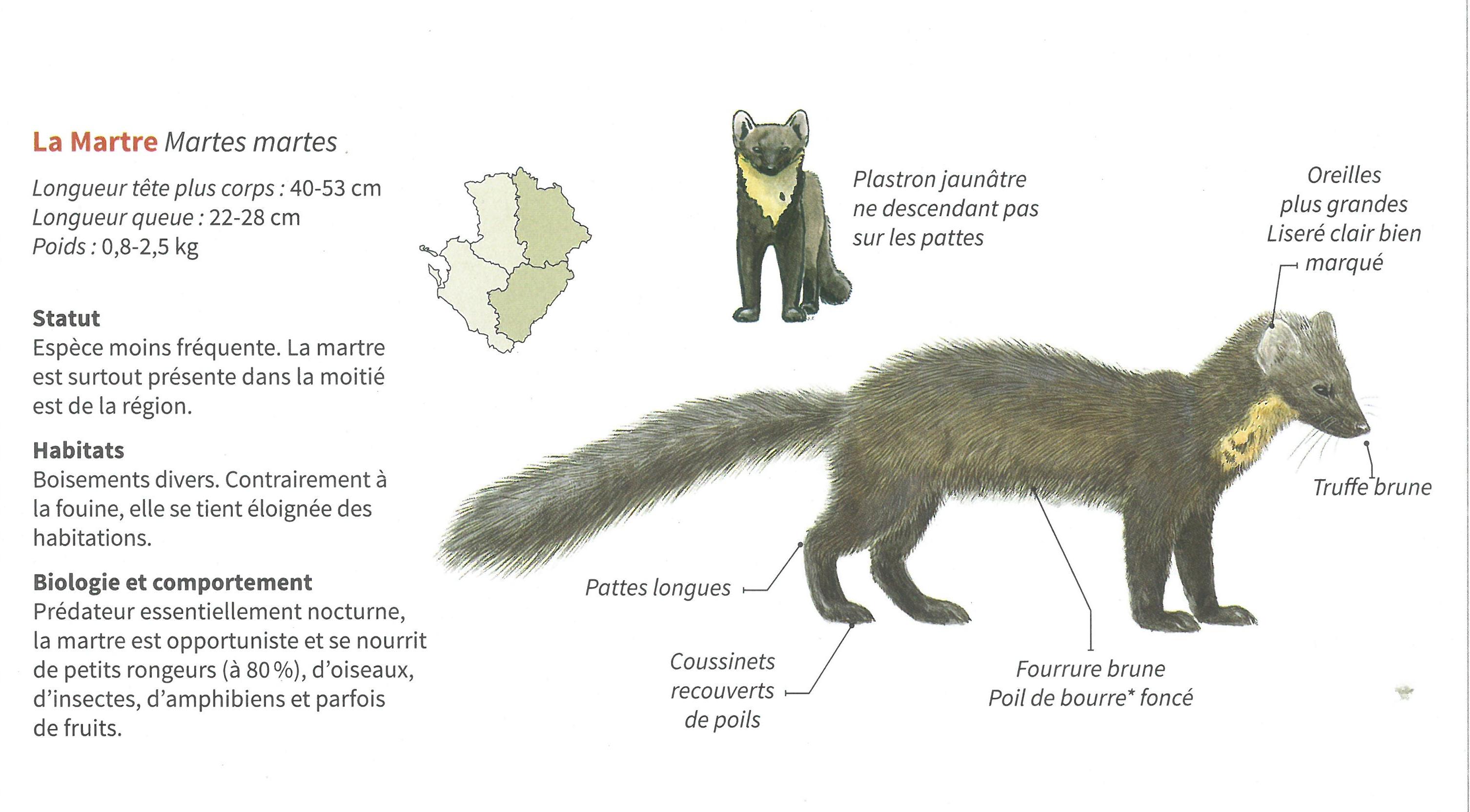 https://cdnfiles2.biolovision.net/www.faune-charente.org/userfiles/ExMartre.jpg