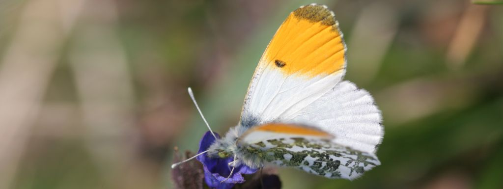 Orange Tip: first record for 2021