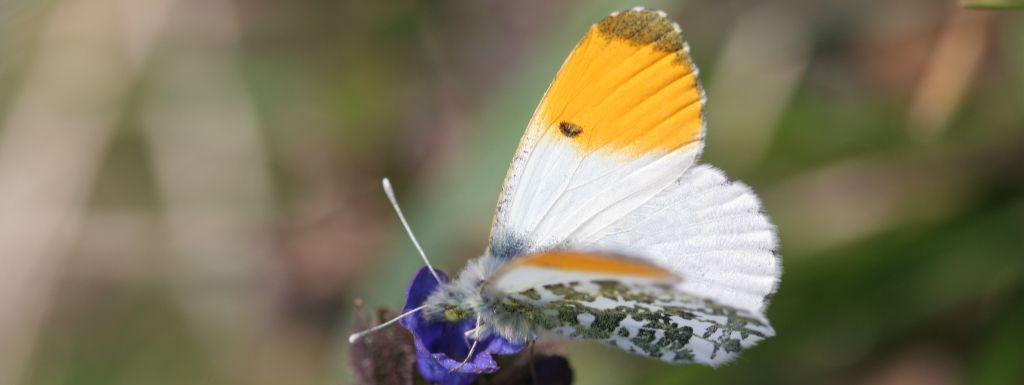 Confinés, mais au aguets - Défi papillons