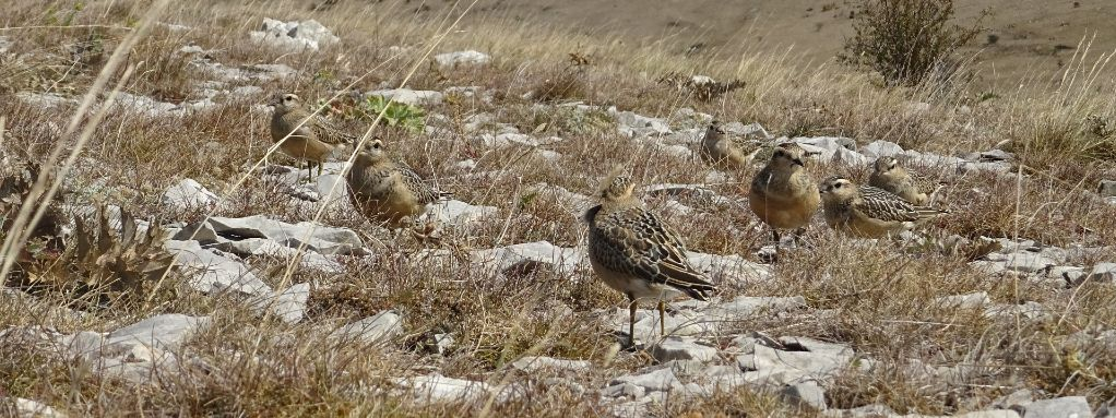 First records of migrating dotterel