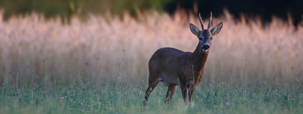 Roe Deer rut season begins