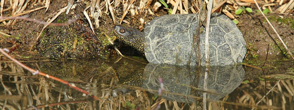 The awakening of the European Pond Terrapin