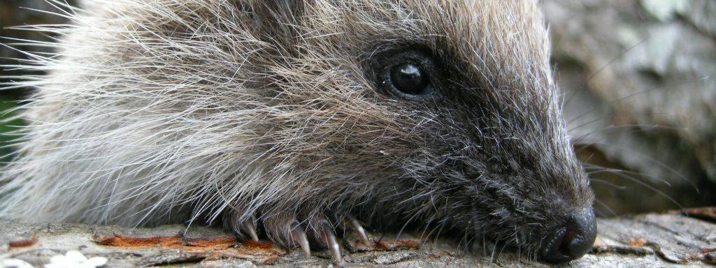 National Hedgehog survey officially launched