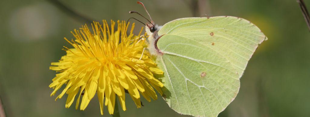 Citron : suivez le réveil du papillon en temps réel