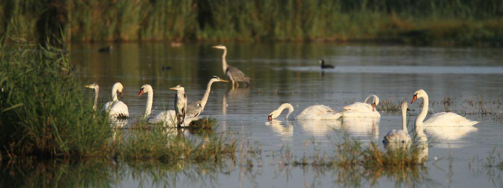 12-13 janvier : dénombrement international des oiseaux d'eau