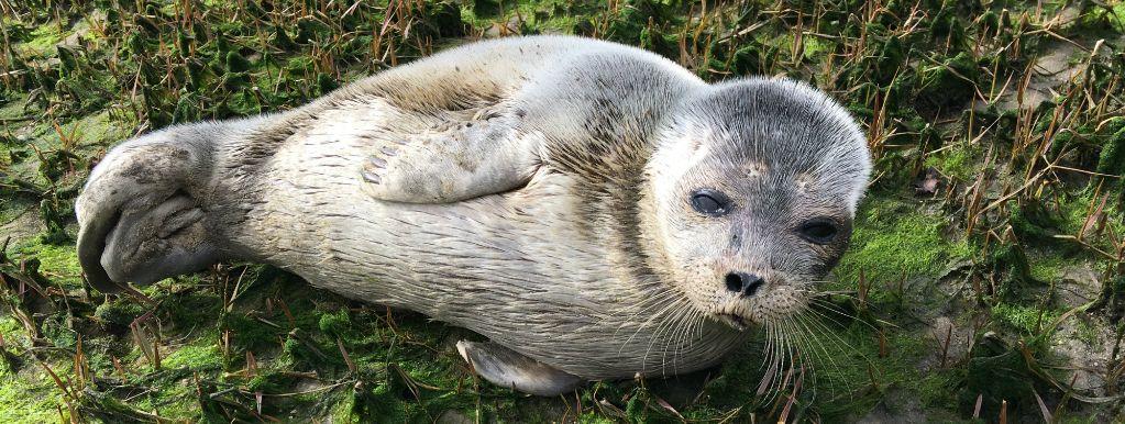 Exceptionnel : découverte d'un jeune Phoque annelé en Gironde.
