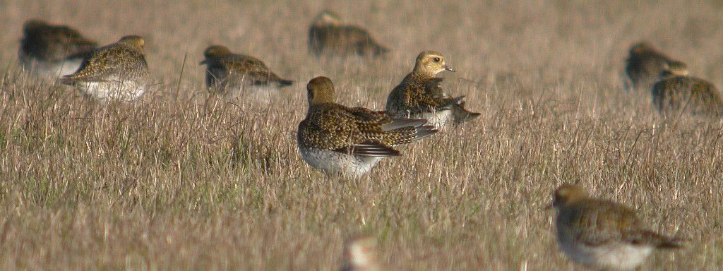 17-18th of October : international Golden Plover survey
