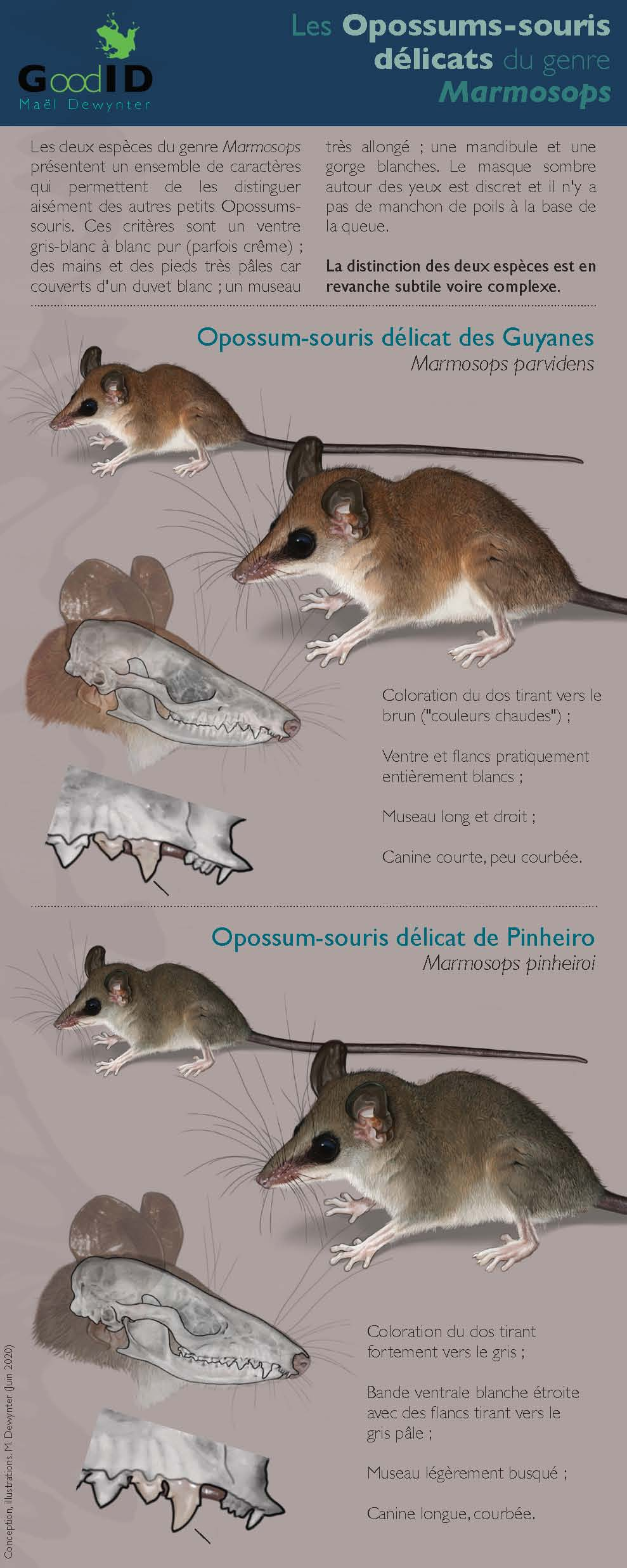 https://cdnfiles2.biolovision.net/www.faune-guyane.fr/userfiles/Documentsdivers/Mammifres/IdentificationdesMarmosopsv2020.jpg