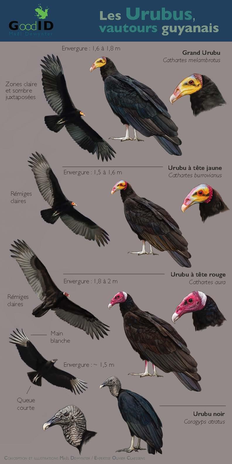 https://cdnfiles2.biolovision.net/www.faune-guyane.fr/userfiles/Documentsdivers/Oiseaux/MemoUrubusM.Dewynter110520.jpg