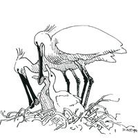 https://cdnfiles2.biolovision.net/www.faune-loire-atlantique.org/userfiles/Spatule1.jpg